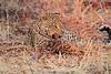 Leopard_Kaingo_Zambia0005
