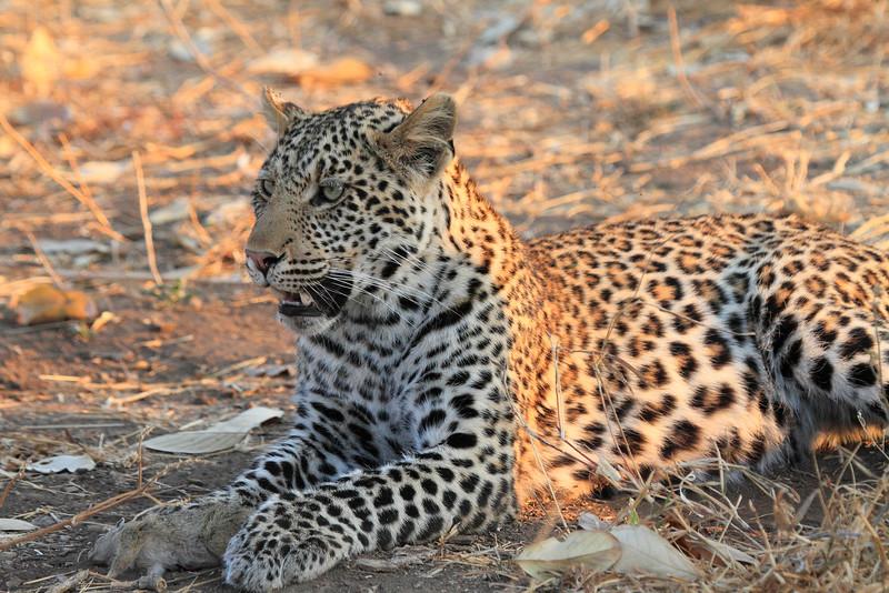 Leopard_Squirrel_Mashatu_Botswana0008