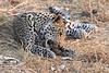 Leopard_Squirrel_Mashatu_Botswana0073