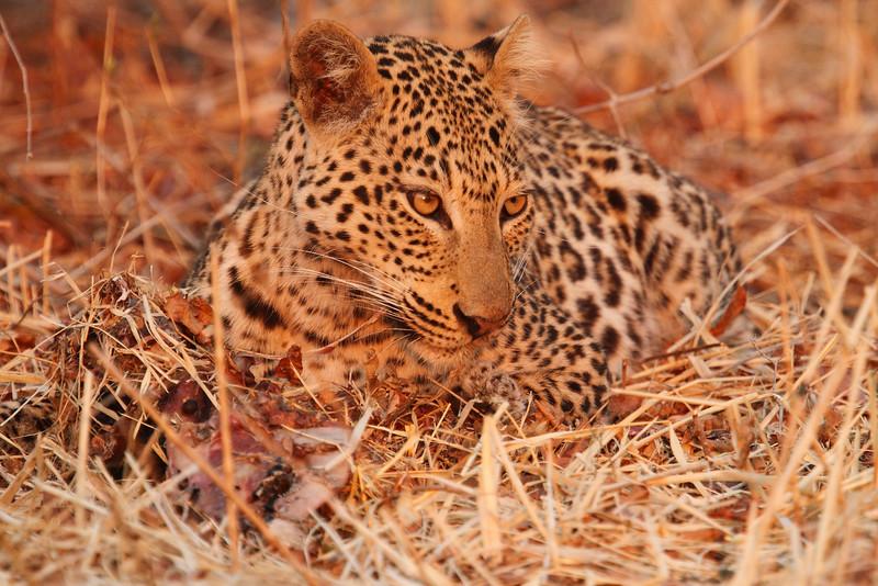 Leopard_Kaingo_Zambia0031