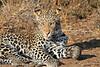 Leopard_Mashatu_Botswana0049