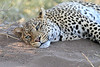 Leopard_Mashatu_Botswana0089