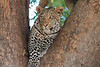 Leopard_Mashatu_Botswana0064