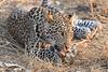 Leopard_Squirrel_Mashatu_Botswana0049