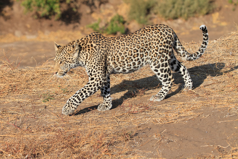 Leopard_Mashatu_Botswana0011