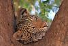 Leopard_Mashatu_Botswana0062