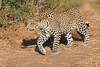 Leopard_Mashatu_Botswana0006