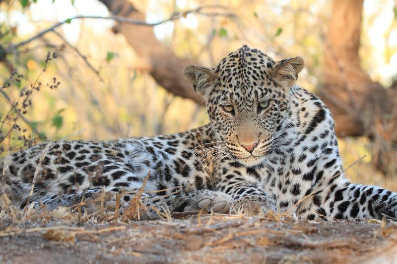Leopard_Mashatu_Botswana0078