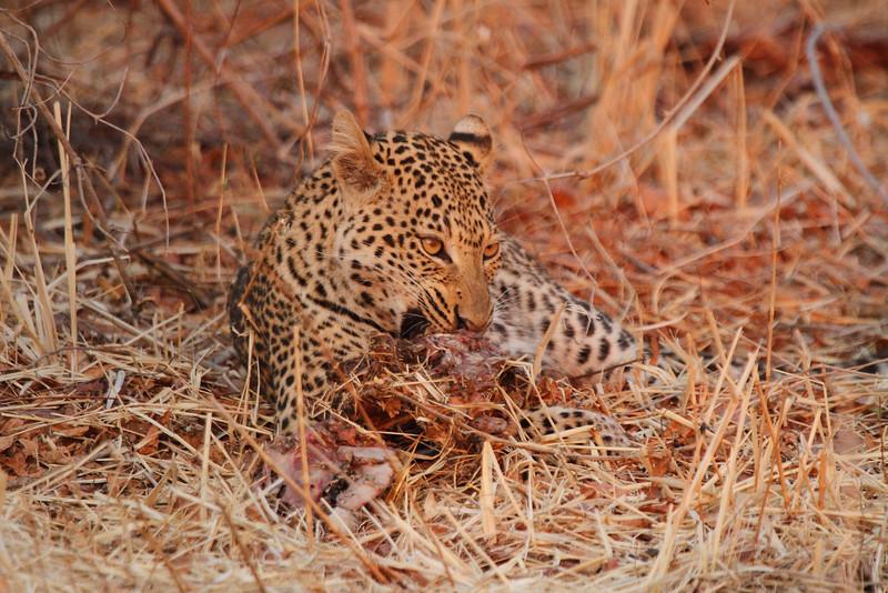 Leopard_Kaingo_Zambia0011