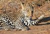 Leopard_Mashatu_Botswana0044