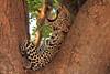 Leopard_Mashatu_Botswana0067