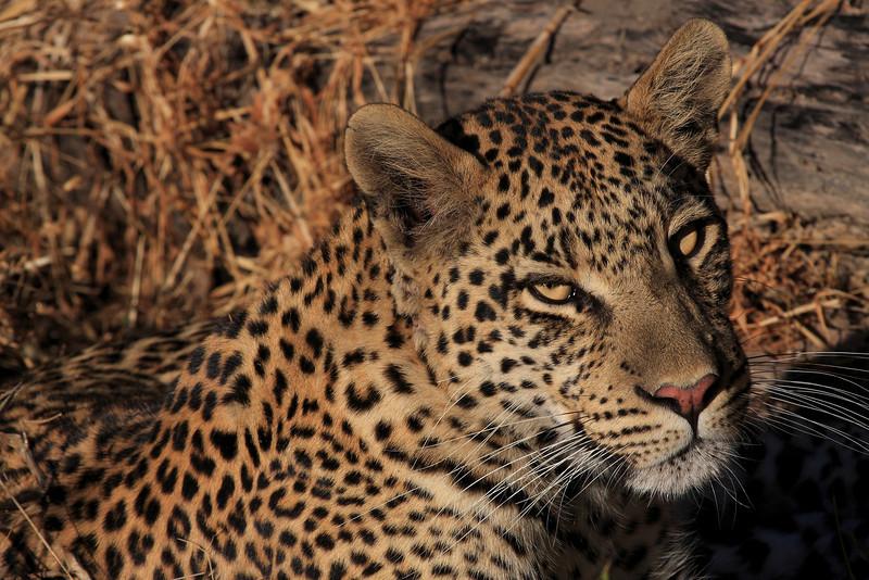 Leopard Chitabe Botswana