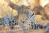 Leopard_Mashatu_Botswana0080