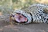 Leopard_Mashatu_Botswana0087
