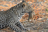 Leopard_Squirrel_Mashatu_Botswana0024