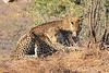 Leopard_Mashatu_Botswana0029