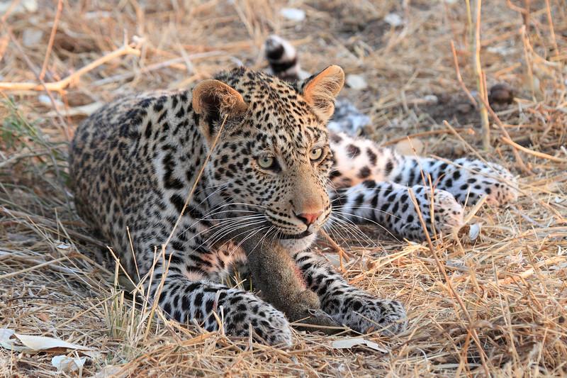 Leopard_Squirrel_Mashatu_Botswana0076