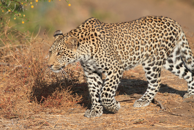 Leopard_Mashatu_Botswana0005