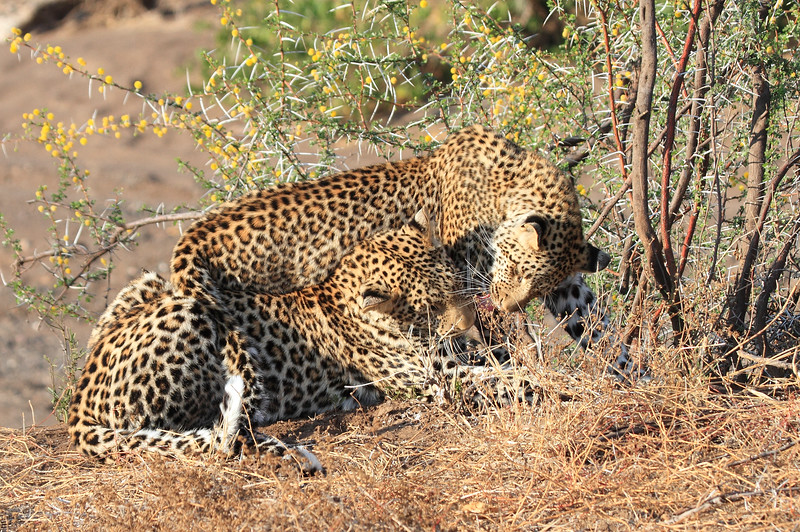 Leopard_Mashatu_Botswana0027