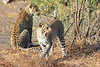 Leopard_Mashatu_Botswana0019