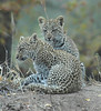 Leopard Cubs Londolozi South Africa