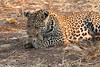 Leopard_Squirrel_Mashatu_Botswana0014
