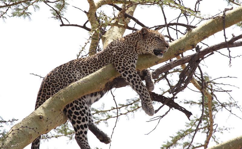 Leopard Central Serengeti Tanzania