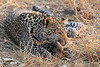 Leopard_Squirrel_Mashatu_Botswana0059