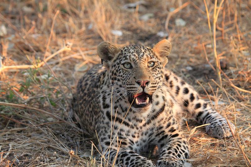 Leopard_Squirrel_Mashatu_Botswana0029