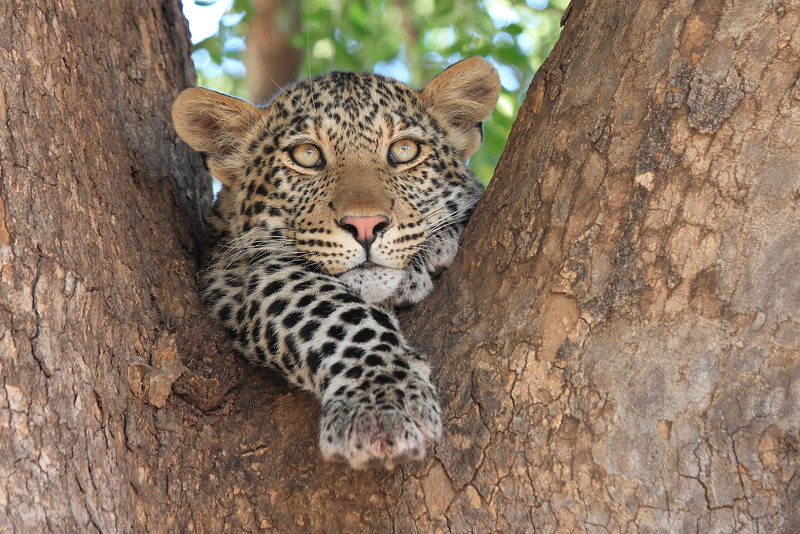 Leopard_Mashatu_Botswana0059