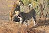 Leopard_Mashatu_Botswana0017