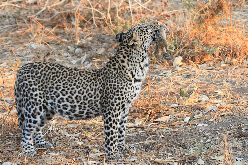 Leopard_Squirrel_Mashatu_Botswana0025
