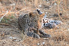 Leopard_Squirrel_Mashatu_Botswana0077