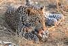 Leopard_Squirrel_Mashatu_Botswana0050