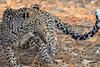 Leopard_Squirrel_Mashatu_Botswana0020