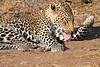 Leopard_Mashatu_Botswana0043