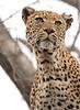 Momma Leopard Ngala Kruger South Africa