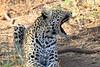 Leopard_Mashatu_Botswana0054