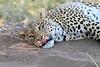 Leopard_Mashatu_Botswana0088