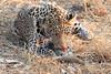 Leopard_Squirrel_Mashatu_Botswana0027