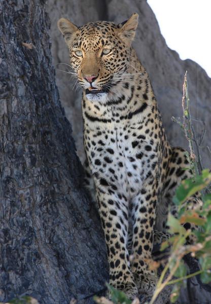 Leopard Little Vumbura Botswana