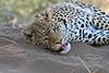 Leopard_Mashatu_Botswana0086