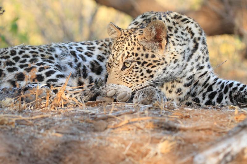 Leopard_Mashatu_Botswana0081