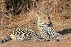 Leopard_Mashatu_Botswana0050