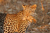 Leopard_Squirrel_Mashatu_Botswana0005