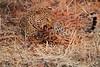 Leopard_Kaingo_Zambia0007