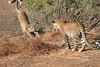 Leopard_Mashatu_Botswana0013