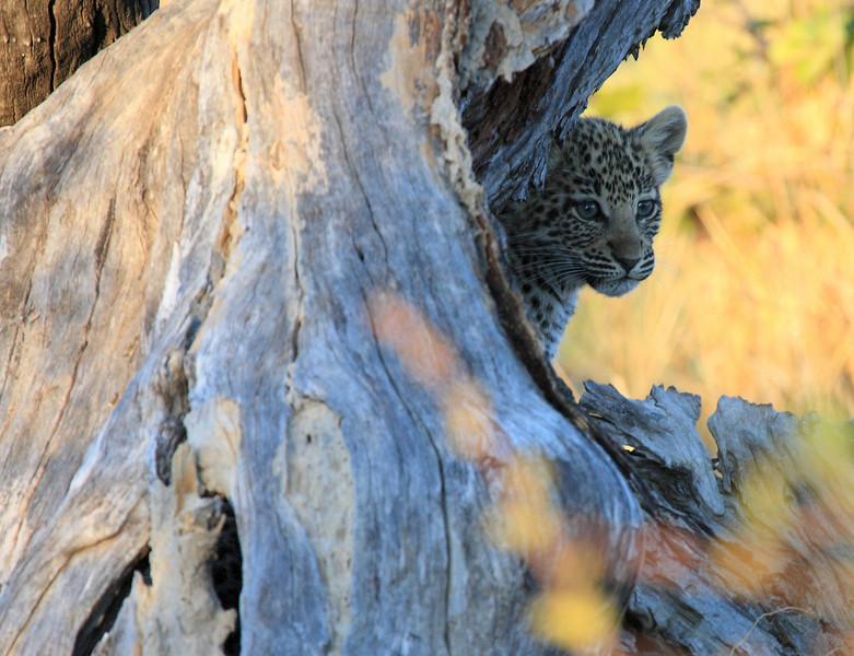 Leopard Cub Chitabe Botswana