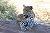 Leopard_Mashatu_Botswana0090