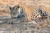 Leopard_Squirrel_Mashatu_Botswana0010